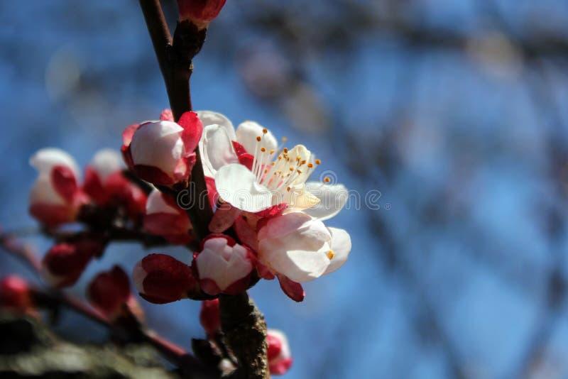 Fleurs luxuriantes blanches de la cerise et de l'abricot, fleurs solides sur l'image entière, photos libres de droits