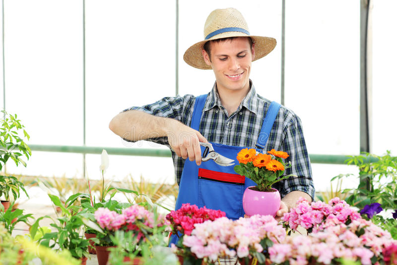 Fleurs mâles d'élagage de jardinier photos stock