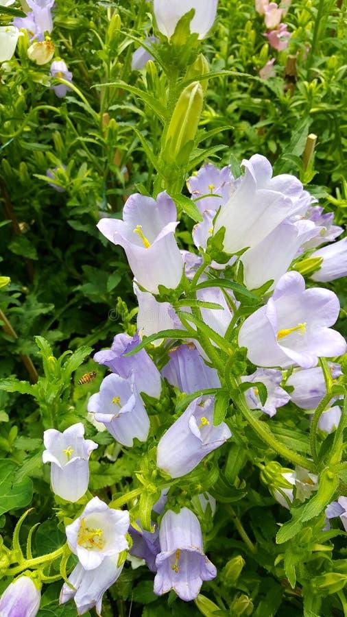 Fleurs macédoniennes de campanule photographie stock libre de droits