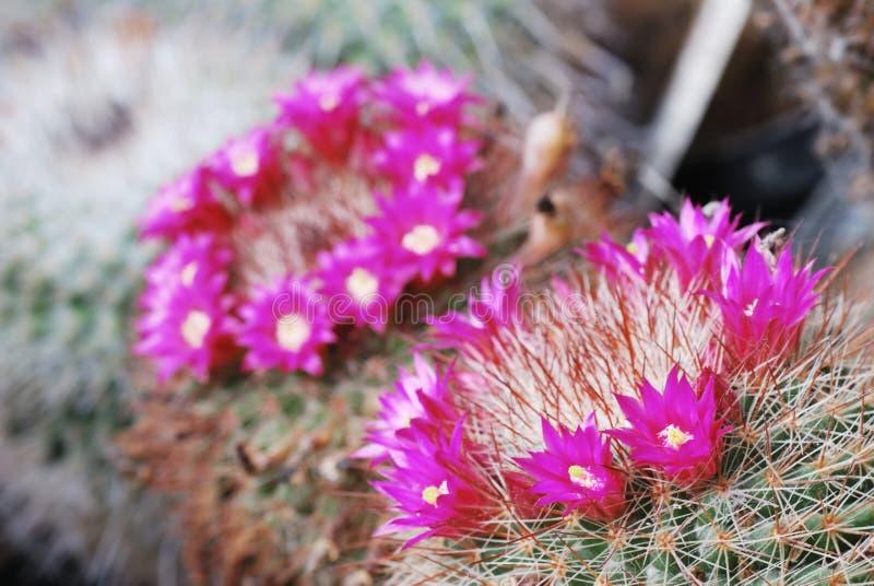 Fleurs magenta de Mammillaria image libre de droits