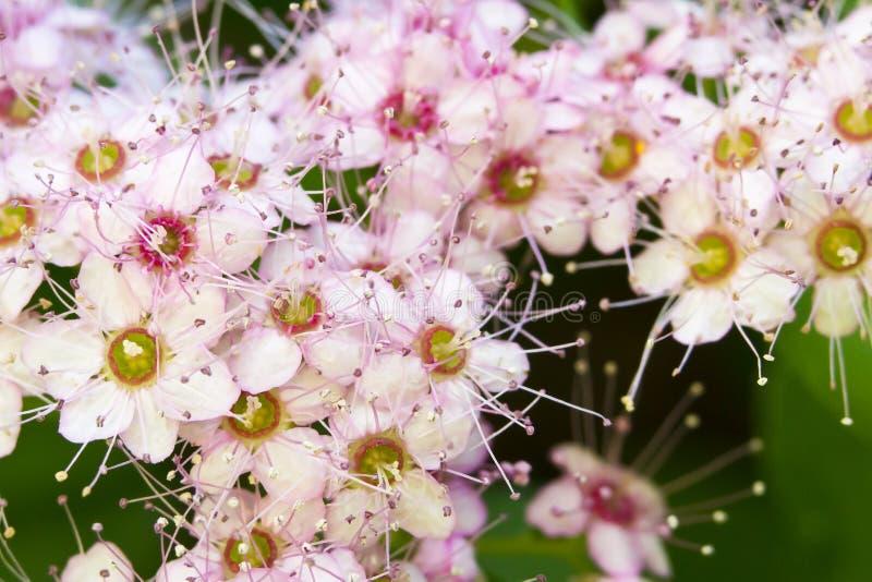 Fleurs magiques de tapis de Spirea images libres de droits