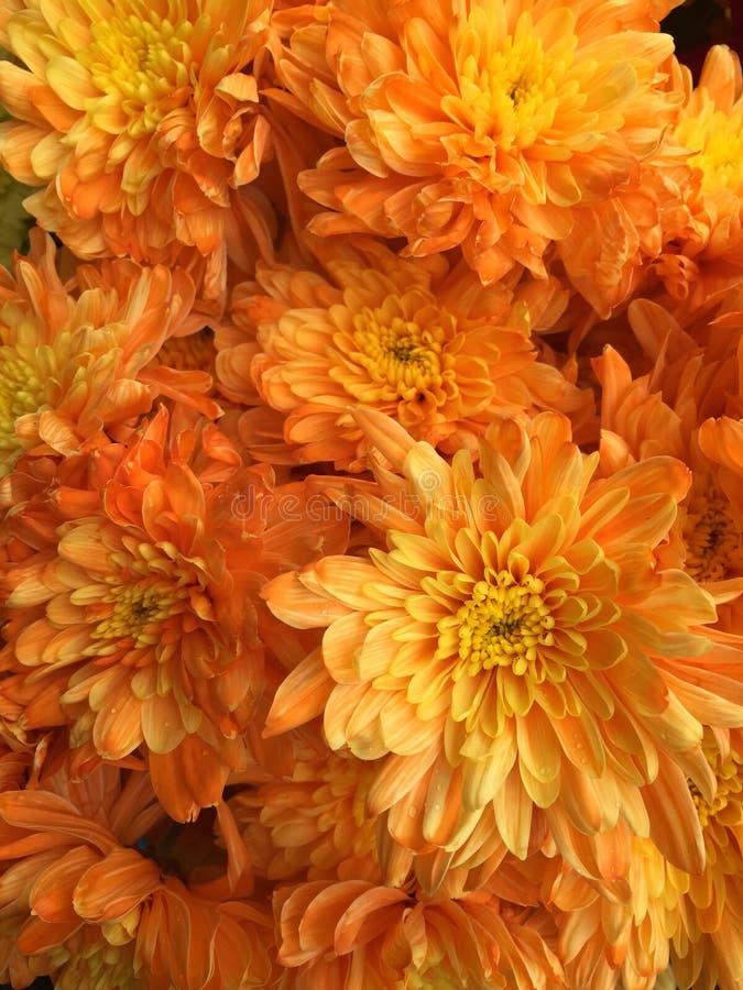 Fleurs malaisiennes de chrysanthème image libre de droits