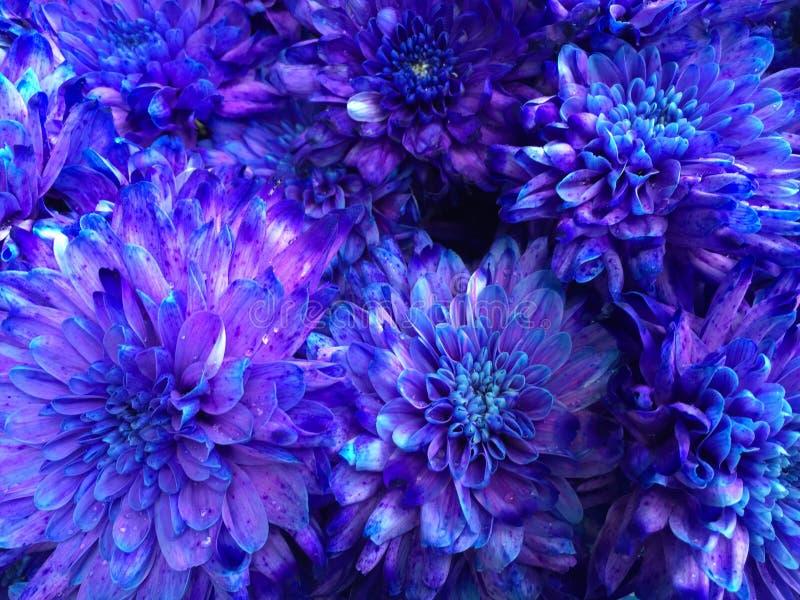 Fleurs malaisiennes de chrysanthème photographie stock libre de droits