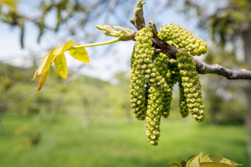 Fleurs masculines de noix image libre de droits