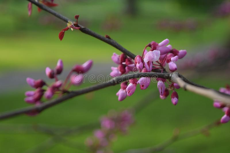 Fleurs minuscules fleurissant au printemps photo libre de droits