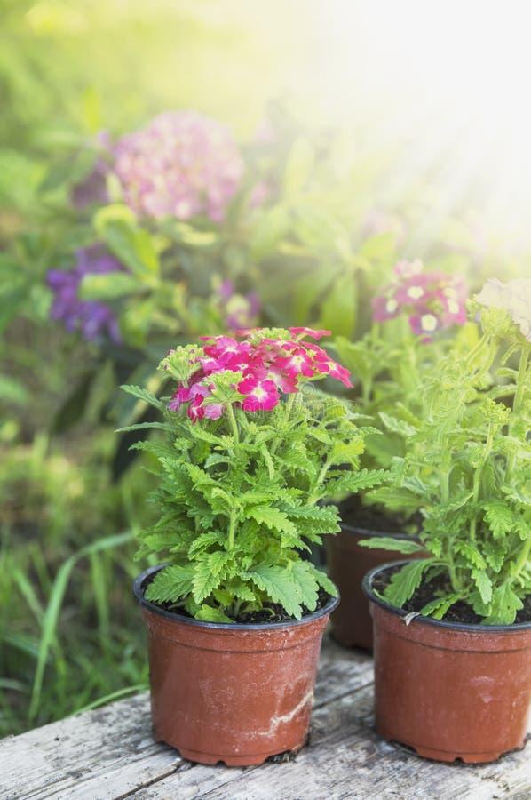 Fleurs mises en pot sur un vieux rondin photo stock