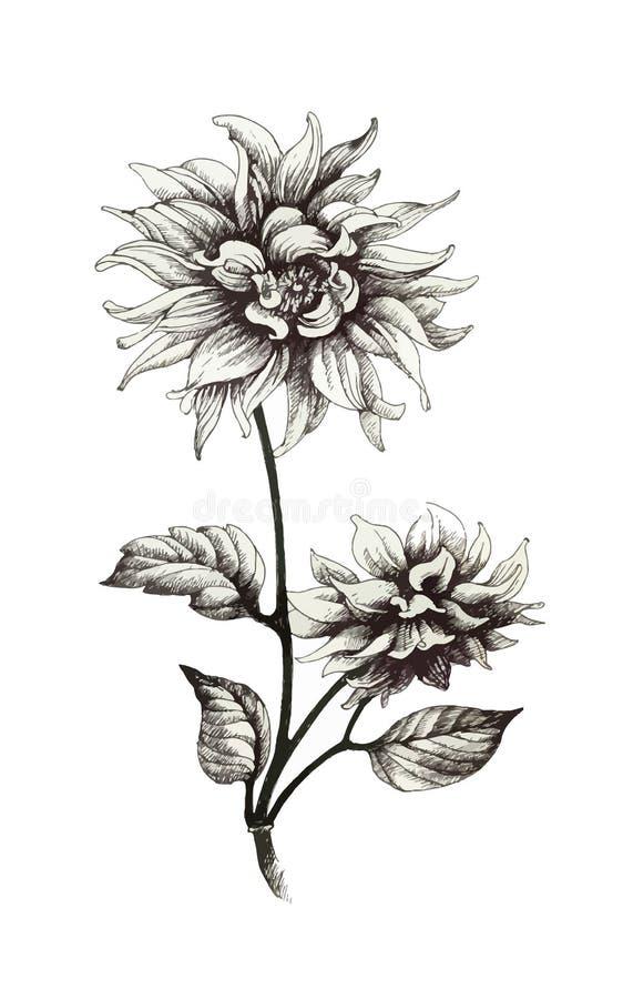 Fleurs monochromes tirées par la main d'isolement sur le fond blanc illustration libre de droits