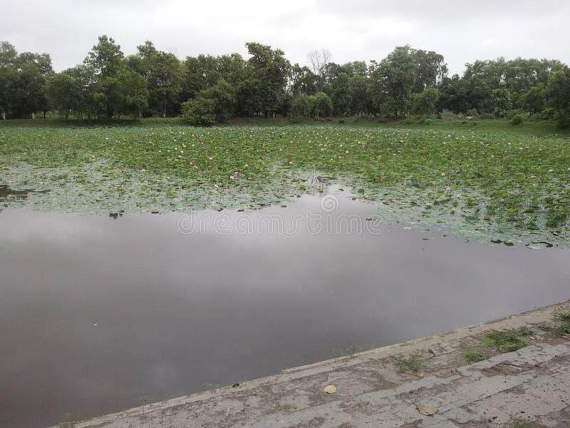Fleurs naturelles et belles d'étang indien de lotus image libre de droits