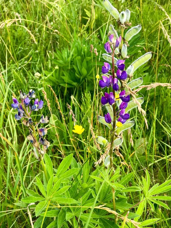 Fleurs naturelles violettes avec de petits pétales pelucheux de bourgeons avec des bourgeons dans l'herbe verte photos stock
