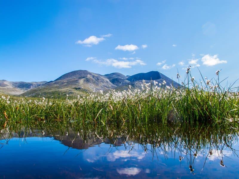 Fleurs, Norvège photo stock