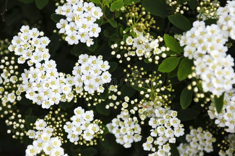 Fleurs nuptiales d'arbuste de guirlande photos stock