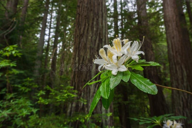 Fleurs occidentales d'occidentale d'Azalea Rhododendron image stock