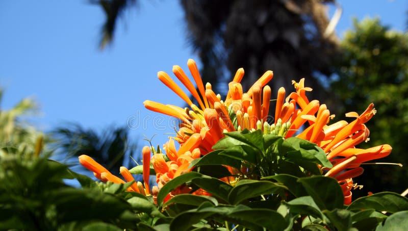 Fleurs oranges - île botanique (Aswan, Egypte) photos stock