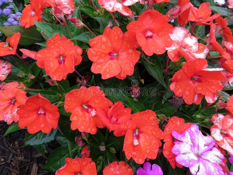 Fleurs oranges d'Impatiens d'été photo stock