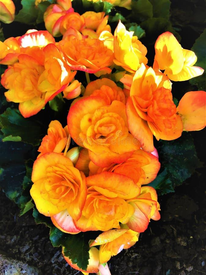 Fleurs oranges de bégonias sur la terre photo libre de droits