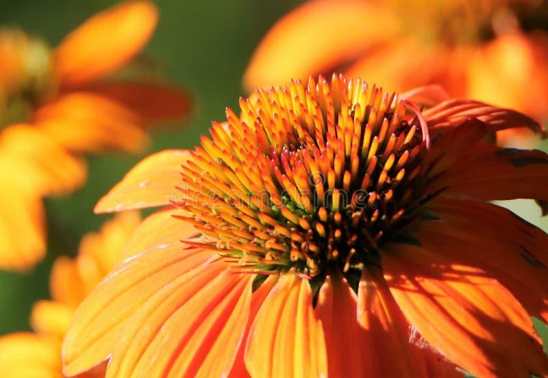 Fleurs oranges de cône dans la lumière de matin photographie stock