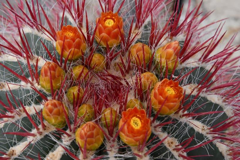 Fleurs oranges de cactus photographie stock libre de droits