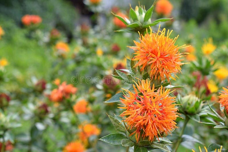 Fleurs oranges de carthame dans le domaine photo libre de droits