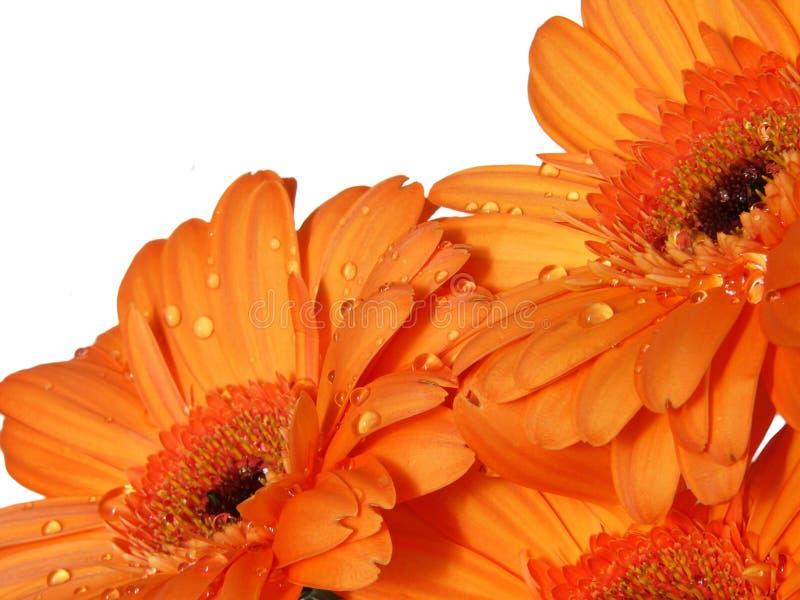 Fleurs oranges de gerber photo stock