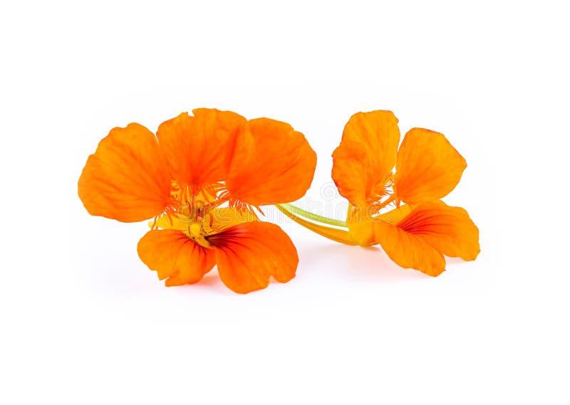 Fleurs oranges de nasturce Majus de Tropaeolum d'isolement sur le blanc photo libre de droits