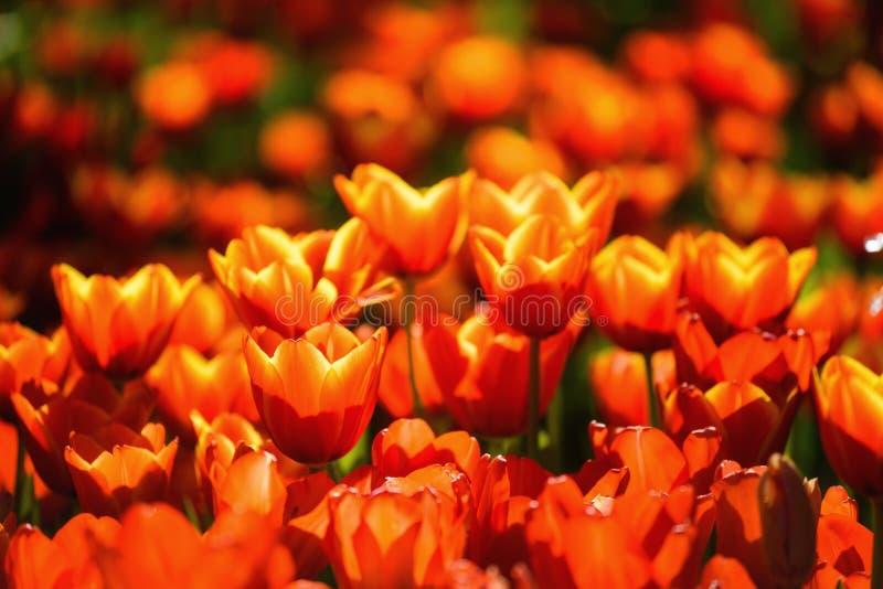 Fleurs oranges de tulipe au printemps photos libres de droits
