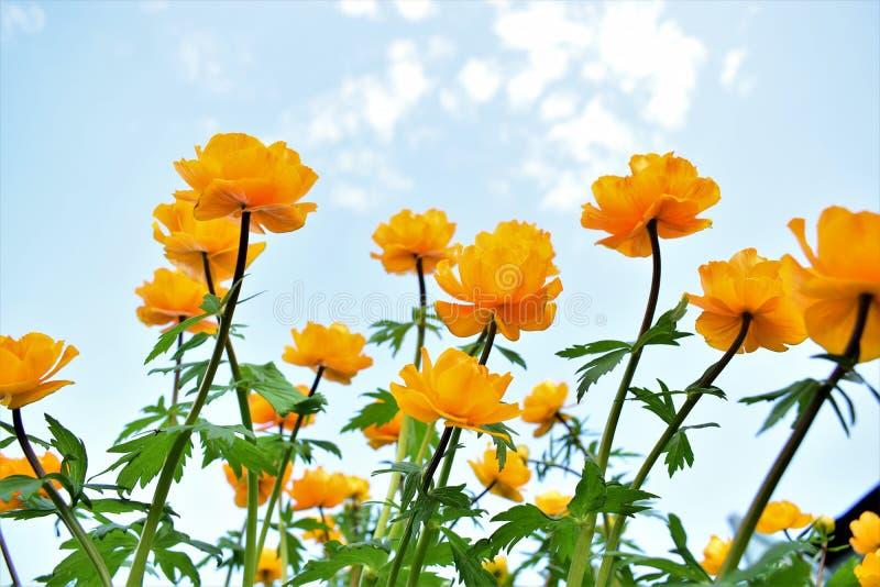 Fleurs oranges grandes contre le ciel illustration libre de droits