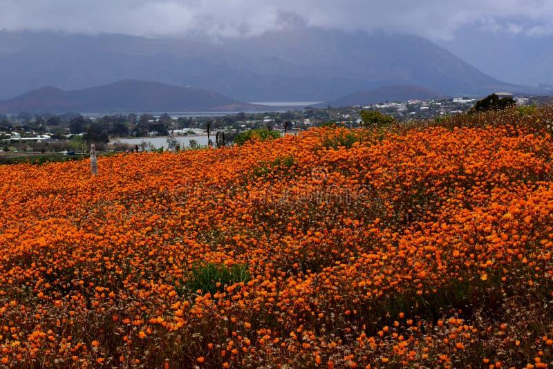Fleurs oranges, jardin botanique national de désert de Karoo, Worcester, Afrique du Sud images stock