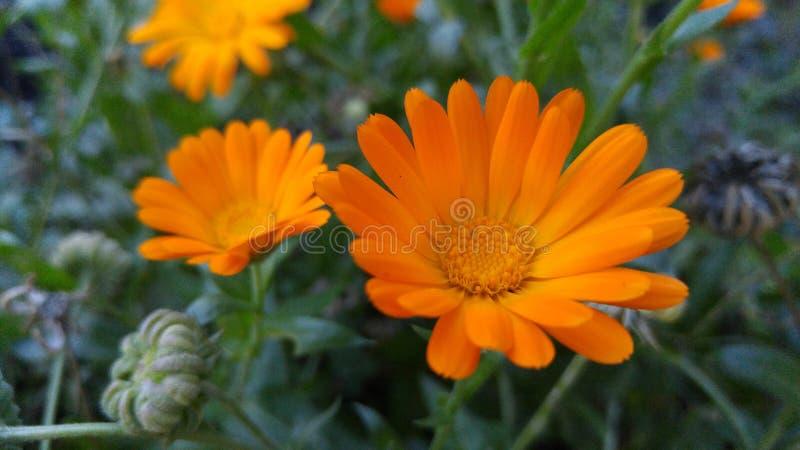 Fleurs oranges Souci photos stock