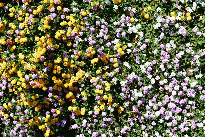 Fleurs oranges, violettes et blanches dans le buisson avec les feuilles vertes photographie stock