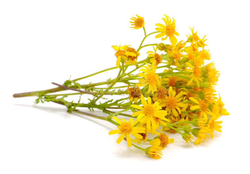 Fleurs orientales de Groundsel (Senecio Vernalis) photos stock