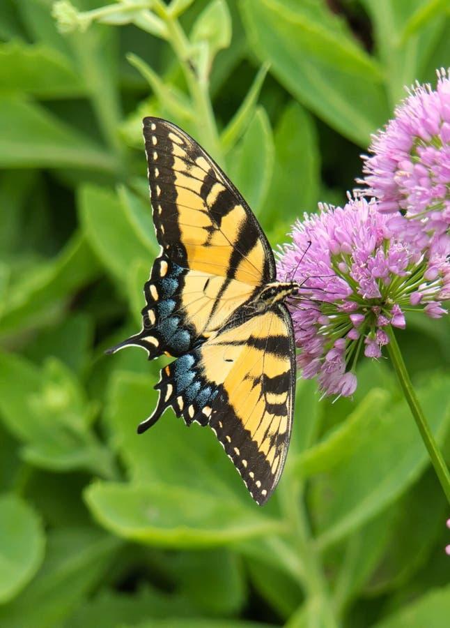 Fleurs orientales de Tiger Swallowtail Butterfly On Allium image stock
