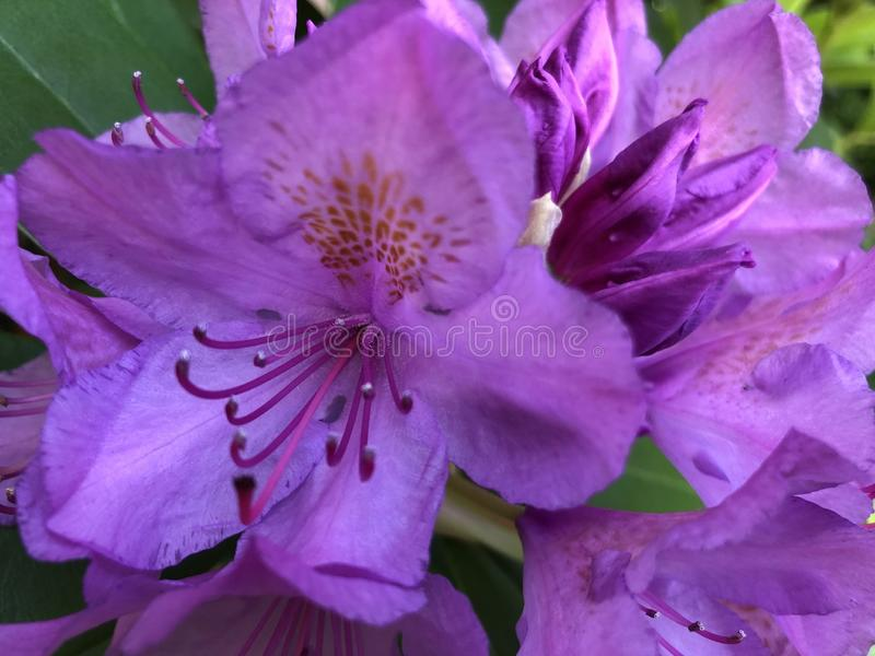 Fleurs ouvertes de Violette au printemps image libre de droits