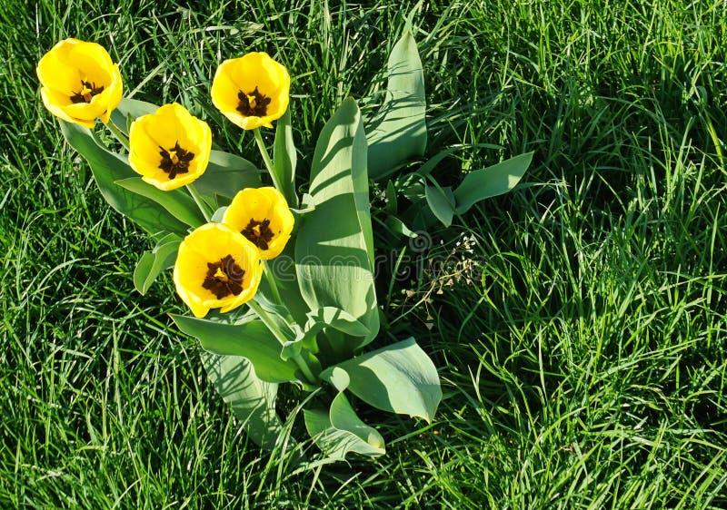 Fleurs ouvertes jaunes de tulipe dans un domaine d'herbe à partir de dessus image stock