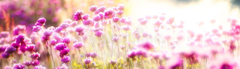 Fleurs panoramiques de rose de bannière photographie stock