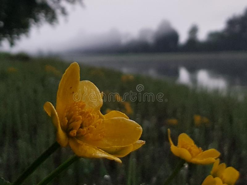 Fleurs par une rivière brumeuse photos libres de droits