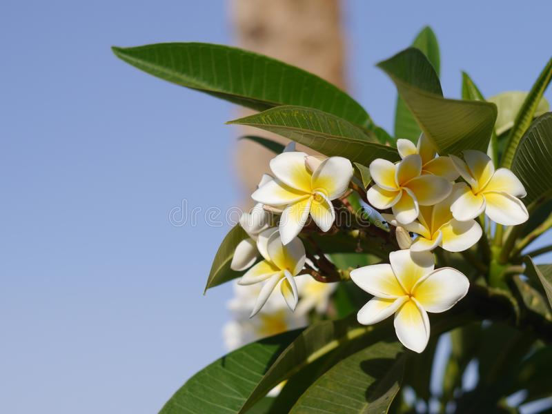 Fleurs parfumées blanches pures parfumées de Fabuluos avec les centres jaunes du plumeria tropical exotique de plumeria d'espèces photographie stock