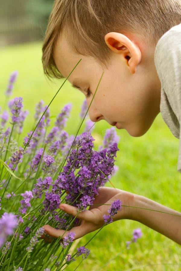 Fleurs parfumées de lavande fraîches photos stock