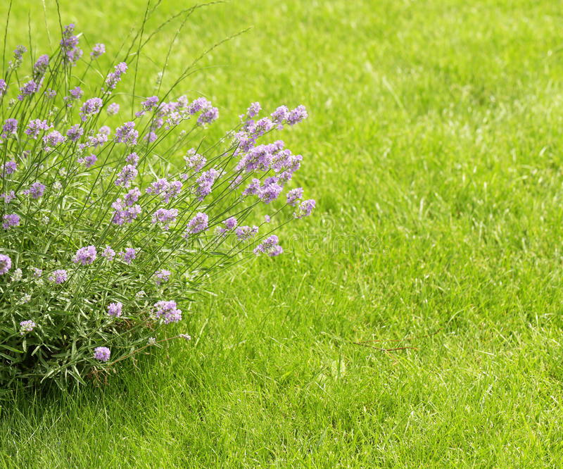 Fleurs parfumées de lavande fraîches image libre de droits