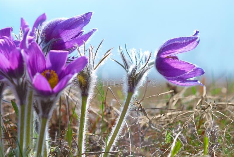 Fleurs Pasqueflower (patens de Pulsatilla) photographie stock