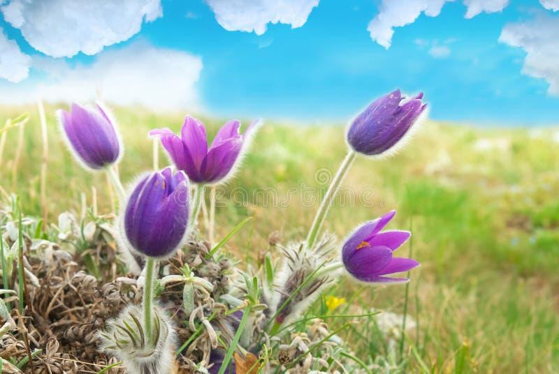 Fleurs Pasqueflower (patens de Pulsatilla) photos libres de droits