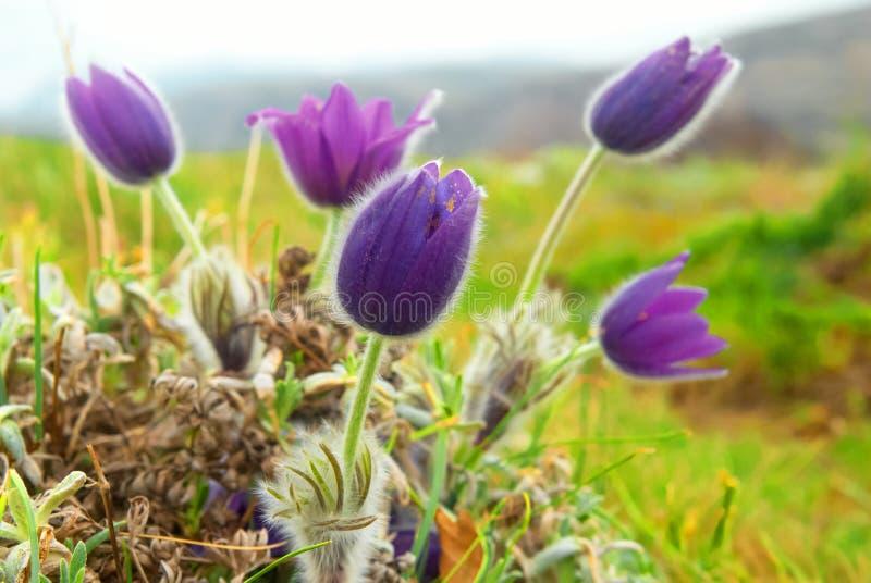 Fleurs Pasqueflower (patens de Pulsatilla) images libres de droits