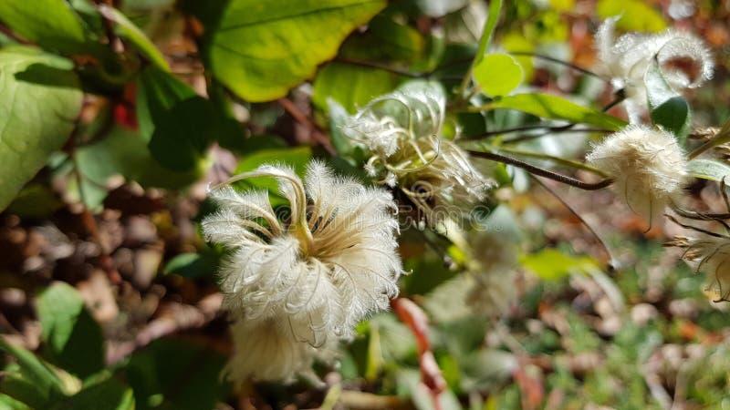Fleurs pelucheuses molles de plan rapproché d'usine de clématite photographie stock libre de droits