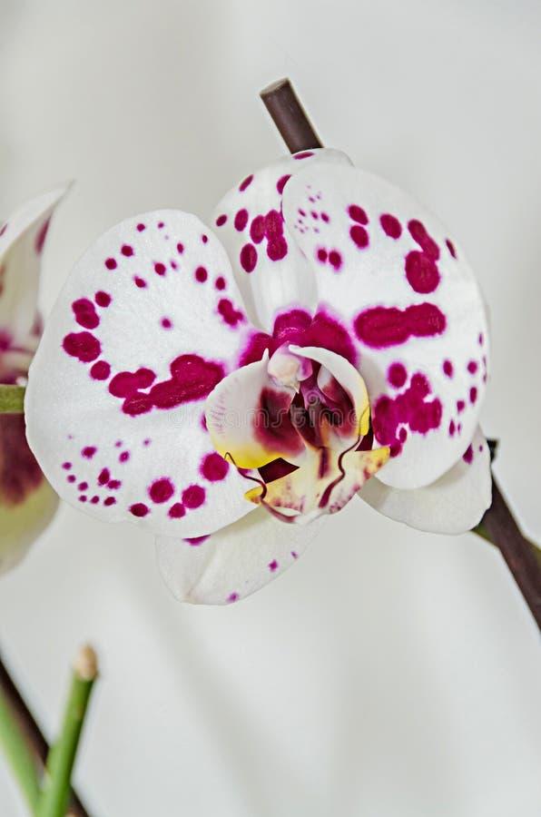 Fleurs phal de branche blanche et mauve d'orchid?e, fin, fond de fen?tre images libres de droits