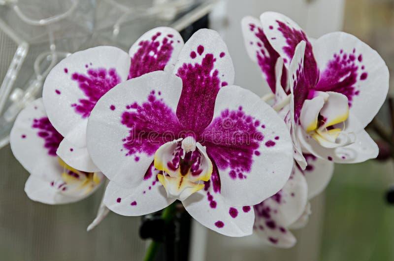 Fleurs phal de branche blanche et mauve d'orchid?e, fin, fond de fen?tre photos stock