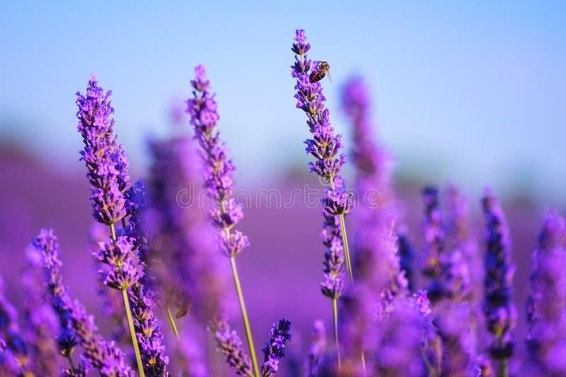 Fleurs plan rapproché, fond de lavande de nature avec le ciel bleu, Provence, Plateau de Valensole, France photos libres de droits
