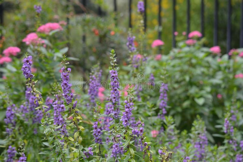 Download Fleurs pourprées photo stock. Image du scie, fleur, pourpré - 77160650