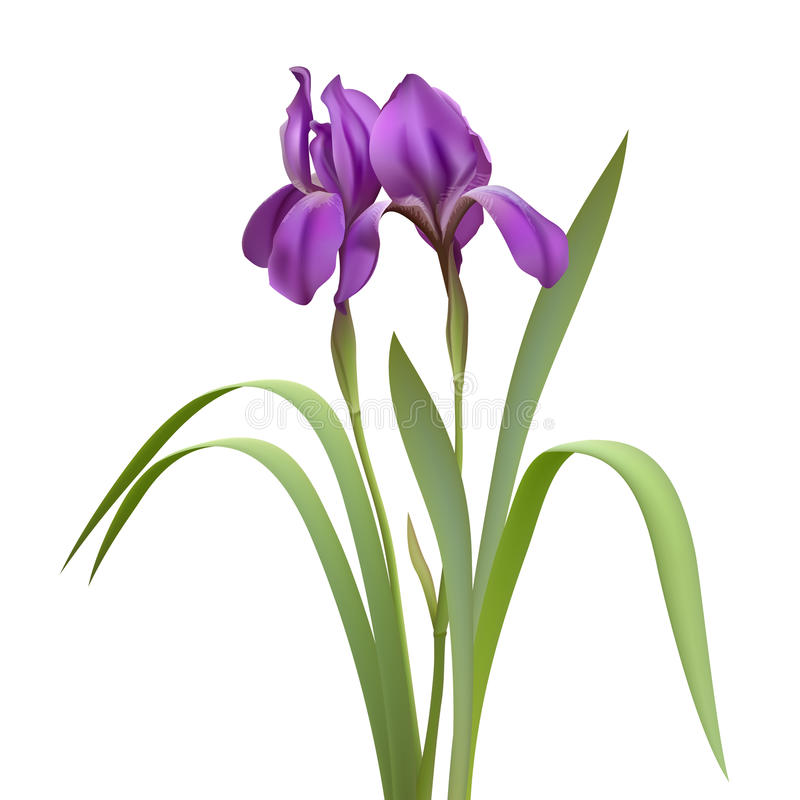 Fleurs pourprées d'iris illustration libre de droits