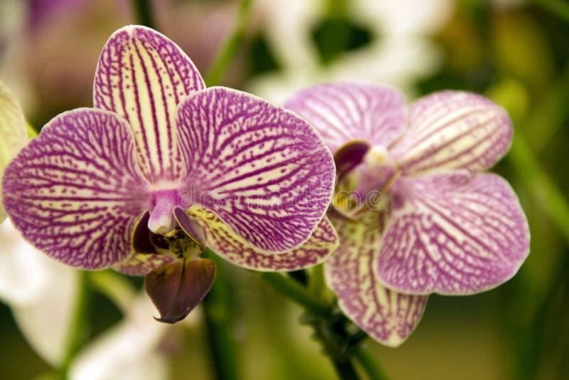 Fleurs pourprées d'orchidée images libres de droits