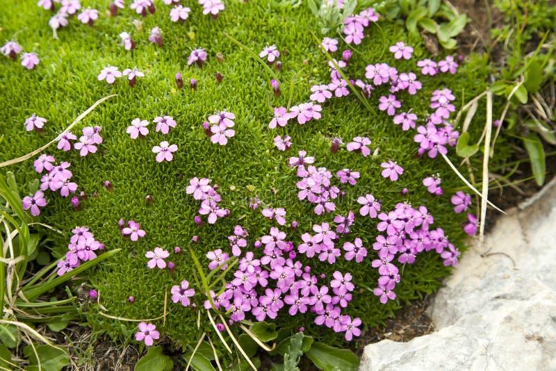Fleurs pourprées dans la mousse alpestre photo stock