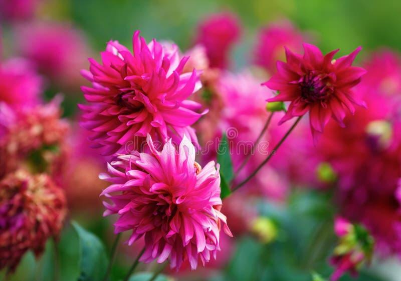 Fleurs pourprées de chrysanthème images libres de droits